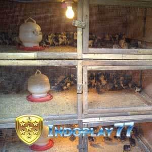Beberapa Cara Merawat Anak Ayam Bangkok Tumbuh Cepat