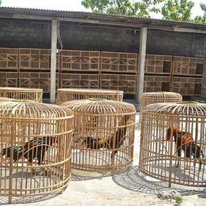 Beberapa Cara Merawat Ayam Bangkok Aduan Yang Baik
