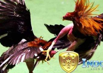 Cara Membuat Ayam Aduan Semakin Super Ganas dan Agresif