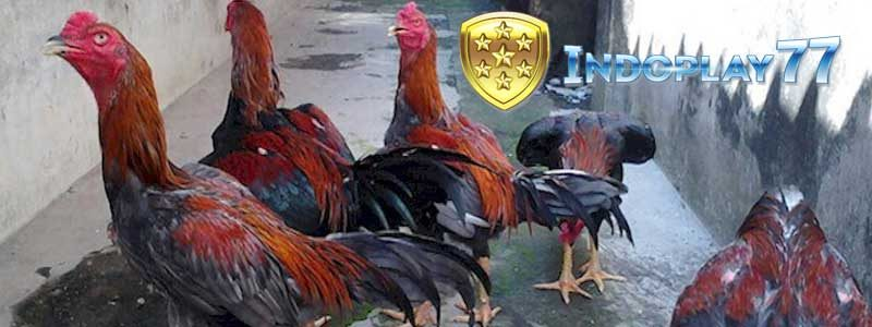 Ciri Ciri Serta Kelebihannya Dari Ayam Bangkok Pakhoy