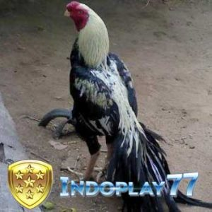 Jenis Ayam Aduan Yang Banyak Dicari Oleh Pecinta Ayam