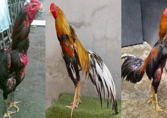 Jenis-Jenis Serta Keunggulan Ayam Bangkok Suro