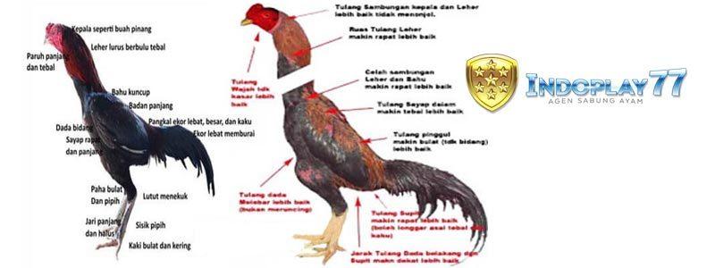 Ciri-ciri Ayam Bangkok Istimewa Yang Dirahasiakan